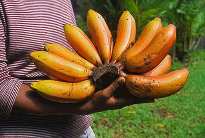 rote banane