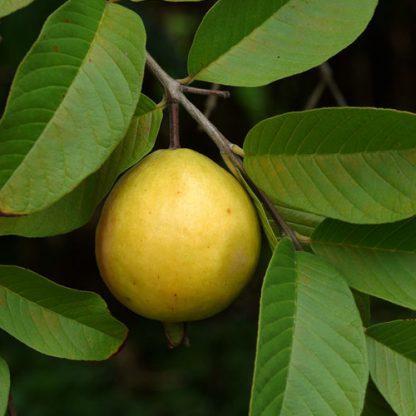 guave am baum
